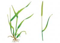 Controlling Black Grass