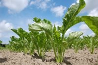 How to increase sugar beet yield