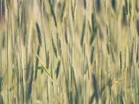 How to increase barley yields