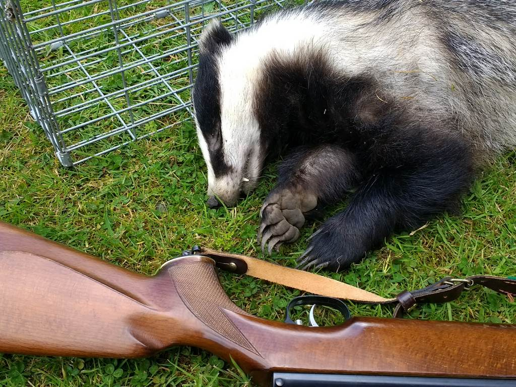 badger-culling