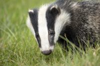 Is the badger cull working?
